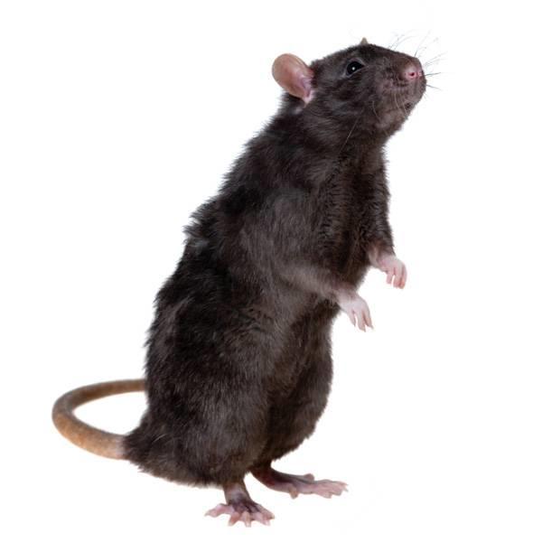 zwarte rat uitwerpselen